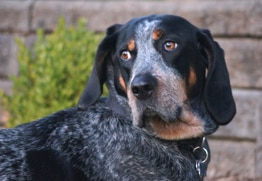 Bella has the best pet insurance for Blue Tick Coonhounds.