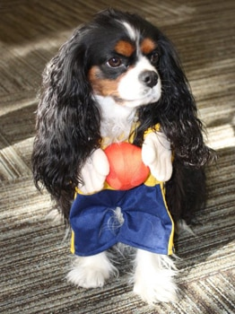 Pet insurance dog Bella is all dressed up and ready for a pet-friendly Halloween party.