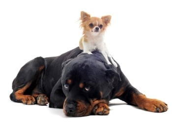 can big dogs and small dogs co exist in a family