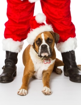 A boxer dog lays between santa boots.
