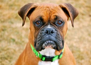 a close up of a boxer dogs face.