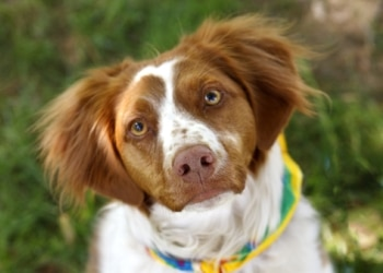 A Brittany dog looks up at the camera