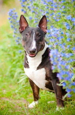 A Bull Terrier with pet insurance from Pets Best.