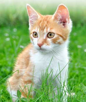 A kitten with cat insurance sits in the lawn.