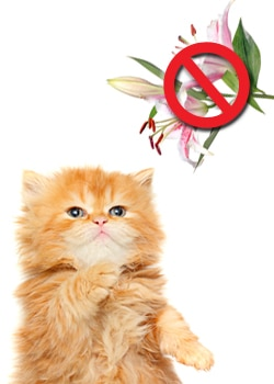 lily flowers and plants are toxic to cats.