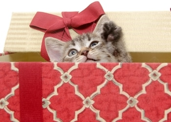 A kitten with pet insurance plays inside the gift box during the holidays.