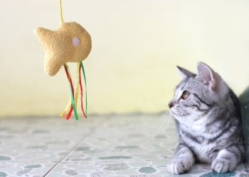 cat looking at dangling fish toy.