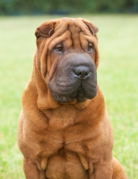 A Chinese Shar Pei with pet insurance from Pets Best.
