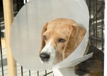 A Pets Best Pet Insurance protected beagle dog with an injury wears a cone while he heals.
