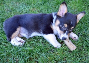 A corgi dog insured with Pets Best Insurance chews a rawhide.