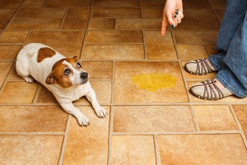 A dog with dog insurance gets in trouble for peeing on the floor.
