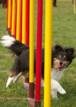 A Pets Best Pet Insurance dog weaves between poles as part of his agility dog training.