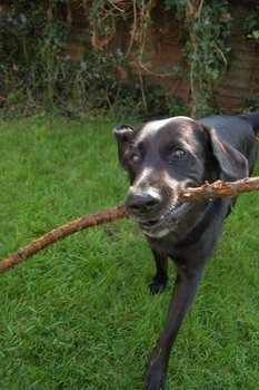 A Black Lab with dog insurance fetches a stick.