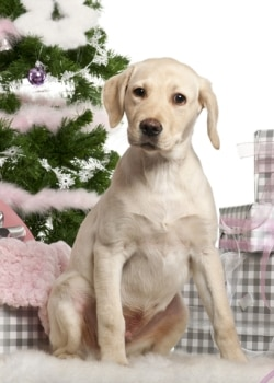 a yellow Labrador dog with pet insurance from Pets Best waits for his Christmas gifts.