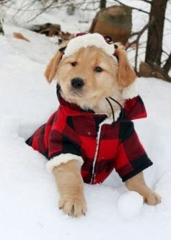 A golden retriever puppy wears a coat in the snow.
