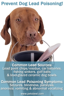 An image of a dog with a paint bucket and brush in his mouth and information regarding lead poisoning in dogs including signs and symptoms.