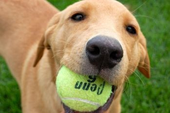A shelter dog with a ball in his mouth.