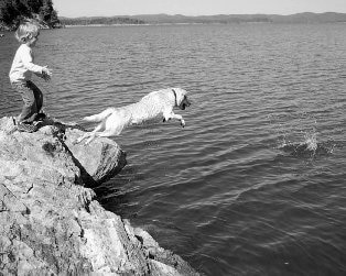 A Labrador retriever dog jumps into water chasing his ball.