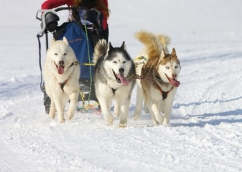 A dog sled race.