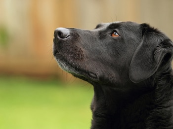 Pet insurance is key if fighting canine cancer in dogs.