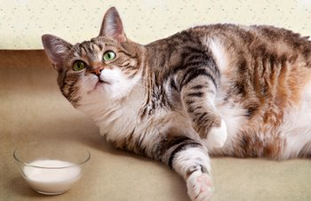 An overweight cat with cat insurance lounges around.