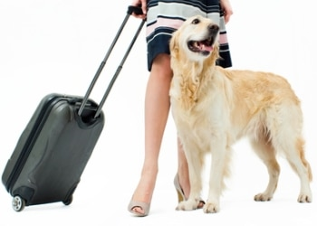 A yellow lab stands with his owner before they head to the airport to fly out.