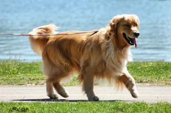 A Golden Retriever is happy to have cancer coverage in his pet insurance.