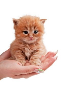 A kitten with pet insurance sits in the palm of a hand.