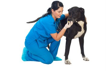 A veterinarian gives heartworm medication to a dog with pet insurance.
