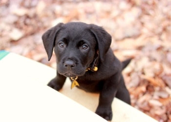 A black Labrador puppy needs to be socialized for best behavior.