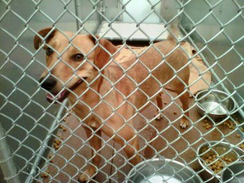 Jayda, a former shelter dog waits to be adopted.