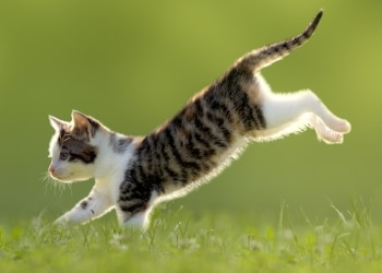 A Pets Best Pet Insurance protected kitten jumps through the air and lands on its feet.
