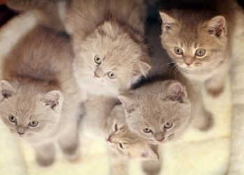 A group of kittens plays together. Learn kitten milestones every cat owner should know.