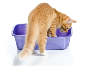 A cat uses its litterbox.