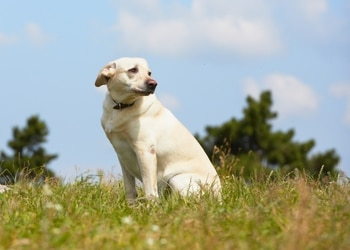 A lost yellow lab dog sits in a field looking worried and scared.