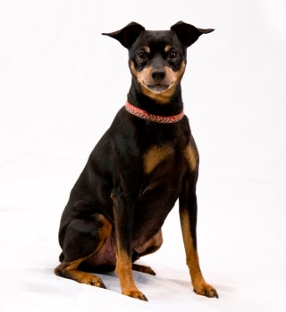 A Miniature Pinscher with pet insurance from Pets Best.