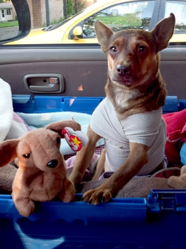 A little dog in a cast, riding in a car.