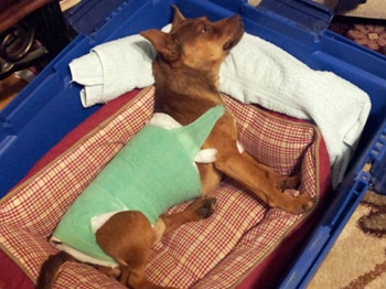 A little dog wearing a cast recovers from a back injury.