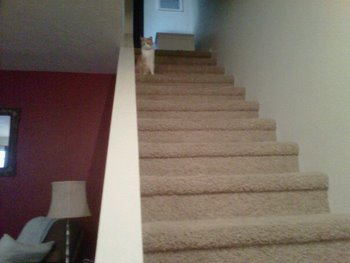 Monica the cat sits at the top of the stairs, terrified of the dog on the floor below.