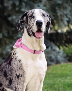 Brie, a Great dane, is protected by Pets Best Insurance. The Great dane dog is the 8th most popular dog breed in Colorado.