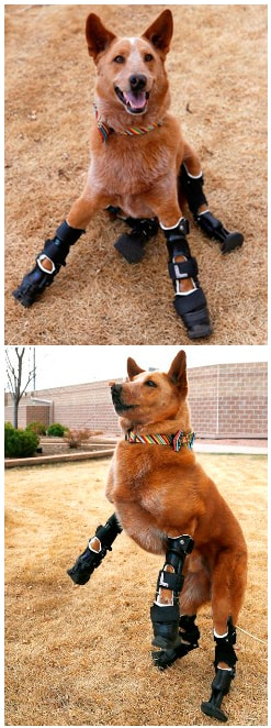 Naki'o the dog is believed to be the first dog with four prosthetic limbs