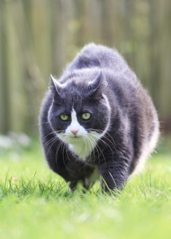 Obesity has been associated with increased risk for serious medical conditions in cats.