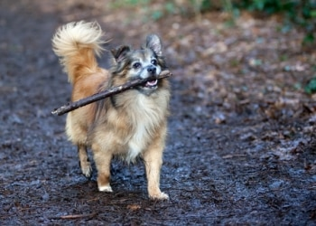 A mixed breed senior dog still loves to play fetch with sticks.