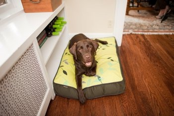 A cute dog with pet health insurance plays in a dog bed.