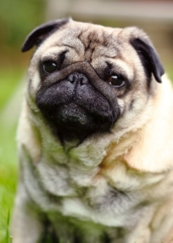 A Pug dog looks at the camera