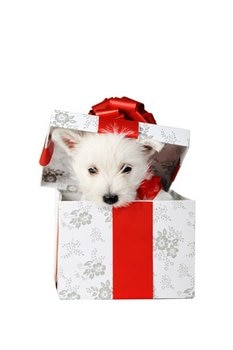 A puppy with pet insurance is in a Christmas box.