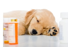 A puppy with pet insurance sleeps next to pill bottles.