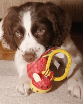 a puppy chews a toy