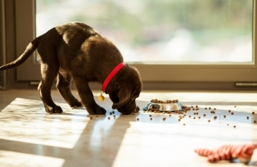 A puppy eats his food.