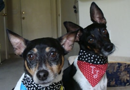 Brodie and Tucker have the best dog insurance for Rat Terriers.